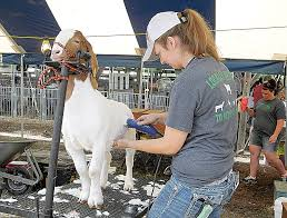 Harrison County fair-goers may want to grab a seat early for livestock sale    News, Sports, Jobs - The Herald Star