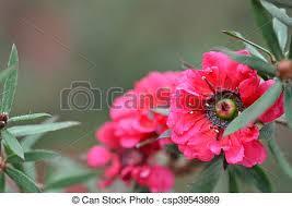Manuka myrtle white-pink flower blooming (leptospermum scoparium)
