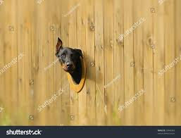 Curious Dog Looking Hole Fence Transportation Stock Image 33940363