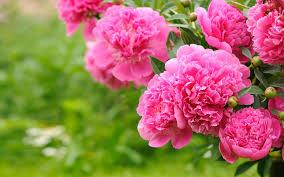 flowering plants peonies pink flowers