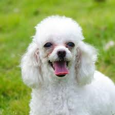 10 haircuts for poodles with styles