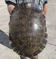 river cooter turtle shell