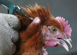 Mencegah Dan Mengatasi Penyakit Snot Pada Ternak Ayam Baca Disini