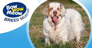 Meet the Clumber Spaniel!