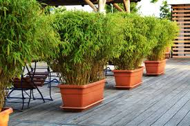10 diffe types of bamboo for yards