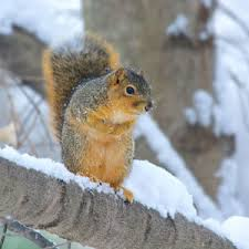 eastern fox squirrel facts t