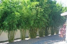What Is Clumping Bamboo Garden Privacy Ideas Privacy Plants Ideas Bamboo Landscape Bamboo Garden Privacy Landscaping