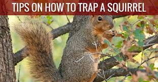 catch a squirrel with traps baits