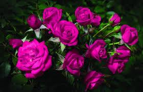 wallpaper roses flowers bouquet