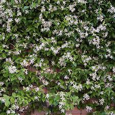 Star Jasmine Trachelospermum Jasminoides Yougarden