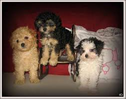 gorgeous tiny toy poodle puppies