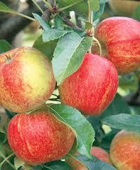 Купить Яблоня Яблочный спас 390рубл - онлайн магазин - заказ и ...