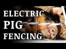 Training Pigs To An Electric Fence Youtube