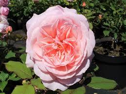 englische rosen englische rosen