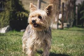 Guide To Buy An Wireless Dog Fence For Yorkie Or Small Dogs Yorkie Clothing