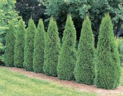 20 Fast Growing Shrubs And Bushes For Privacy Evergreen Shrubs For Backyard