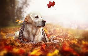wallpaper autumn leaves nature dog