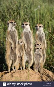 Meerkat / Suricate family group (Suricatta suricata) standing ...