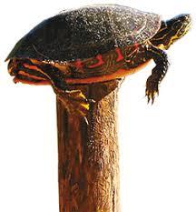 Turtle On A Fence Post Ib2 News