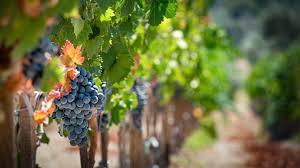 Image result for vineyards