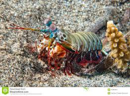 Mantis Lobster Defending Eggs Stock ...