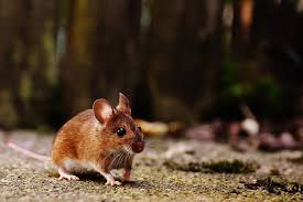 natural mouse poison to kill mice