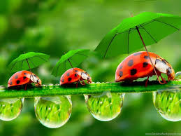 53 ladybugs wallpaper on wallpapersafari