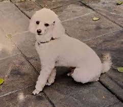 white miniature poodle for adoption