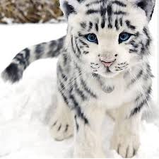white tiger uploaded by fred on we heart it