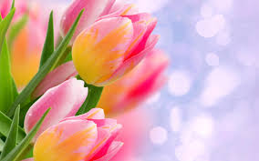 tulip flower wallpapers on wallpaperplay