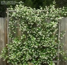 Plantfiles Pictures Trachelospermum Species Chinese Star Jasmine Confederate Jasmine Star Jasmine Trachelospermum Jasminoides By Gessiegail