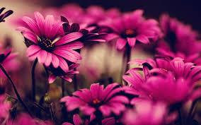pink flowers hd wallpapers top free