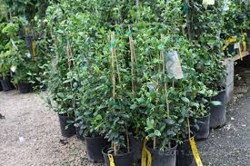 Vines For Growing In Houston Choosing The Right Vine For Your Garden