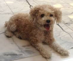 toy poodle dog breed information and
