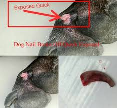 dog nail broke off quick exposed
