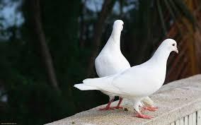 اجمل طيور الحمام