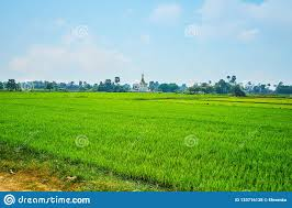 The Young Plants Of The Bright Green Paddy-field, Ava Stock Photo ...