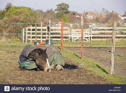 Horse Adult Wearing Turnout Rug Sleeping Beside Electric Fencing Stock Photo Alamy