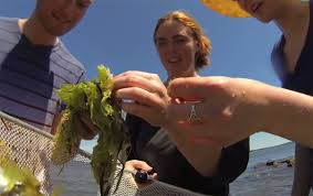 CELS student seeks answers to curious seaweed characteristic