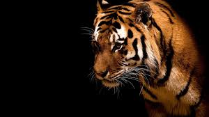 1549 Tiger Hd Wallpapers Background Images Wallpaper Abyss