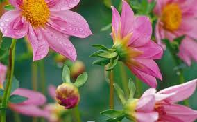flower desktop beautiful flowers