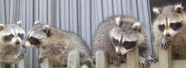 Montreal | Skedaddle Humane Wildlife Control