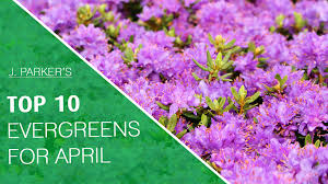 top 10 evergreens for april