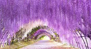 海外「まるで魔法の世界だ」 日本の「あしかがフラワーパーク」の藤の ...