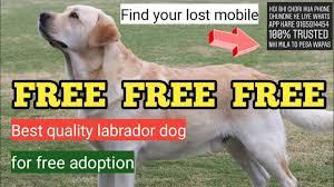 FREE Labrador Golden retriever for free ...