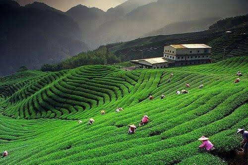 Image result for Tea Gardens of Darjeeling""