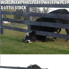 Poor Cow By Greentree Meme Center