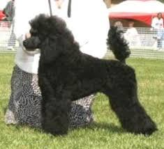 miniature poodle breeders canada s