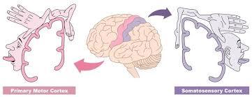 sensorimotor areas bioninja
