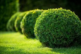 How To Plant A Dwarf Boxwood Hedge